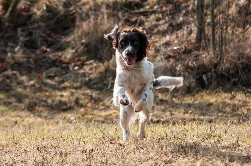 Quelle croquettes donner à son chien de chasse ?