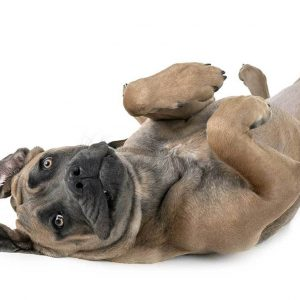 chiot cane corso froment