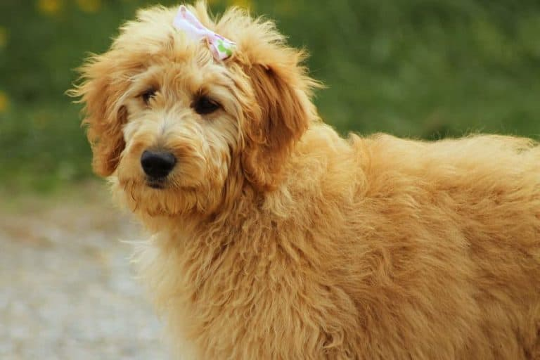 medium long-coated brown goldendoodle