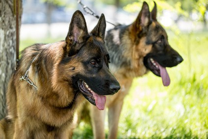 Female vs Male German Shepherd