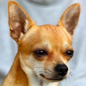 7 Diffe Types Of Chihuahuas And