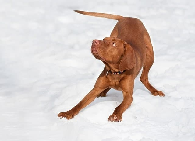 best dog food for vizsla