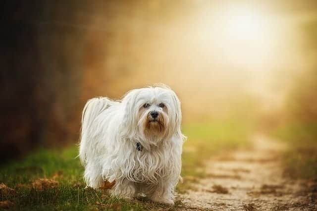 havanese dog food