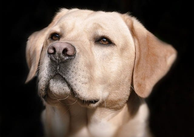 How-Often-Should-A-Dog-Be-Bred