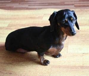 Pregnant dachshund