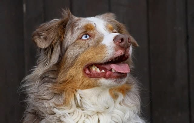 australian shepherd coat care