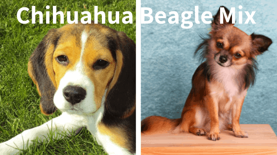 Chihuahua-Beagle-Mix-Breed
