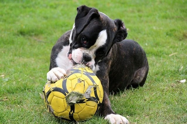 boxer with a football