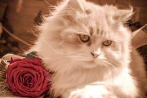 kitten cat rose