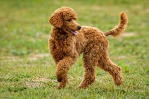 brown poodle dog playing outdoors