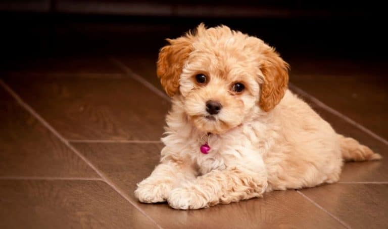cute maltipoo puppy resting indoors