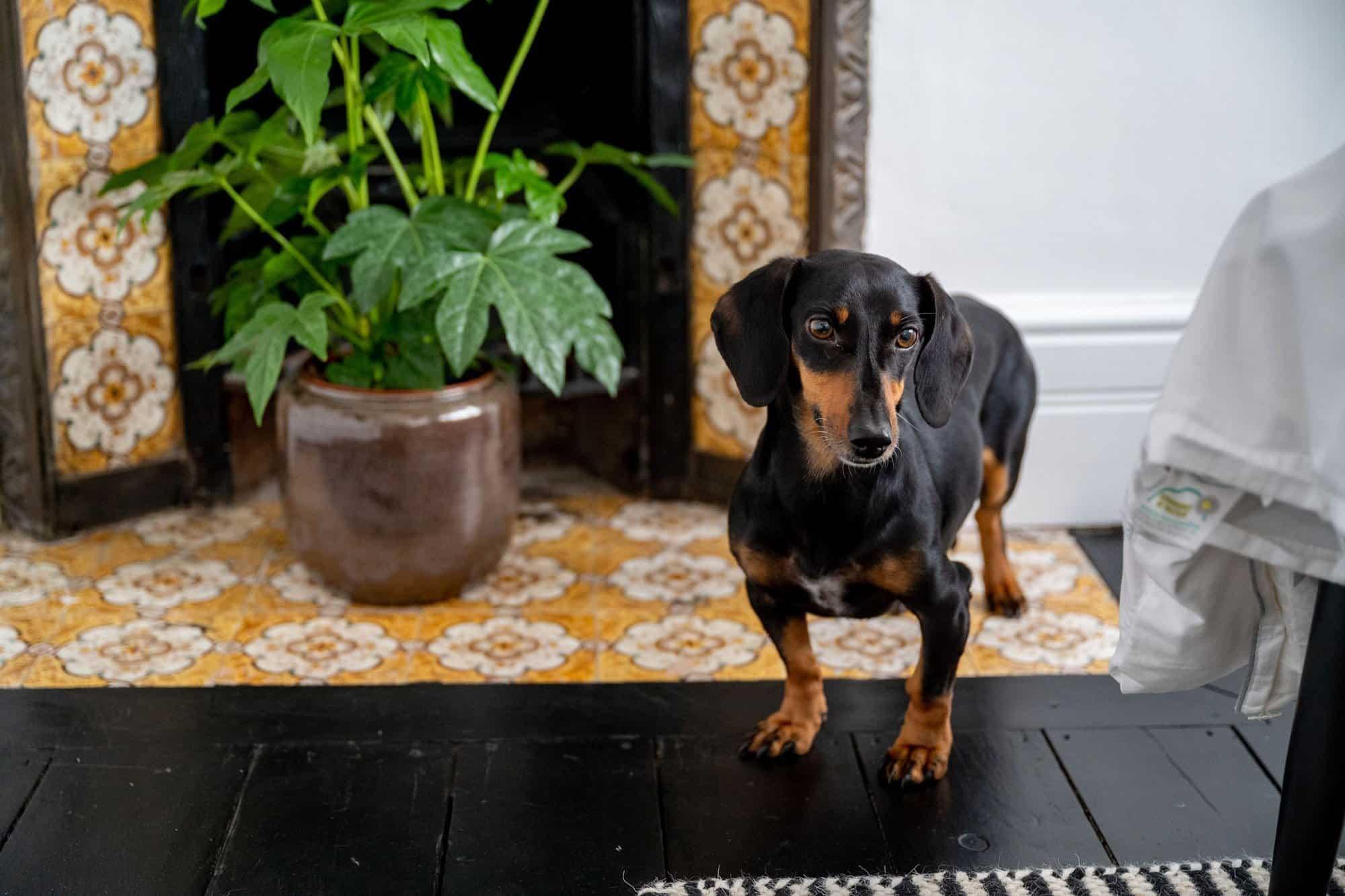 Rosie Sausage Dog
