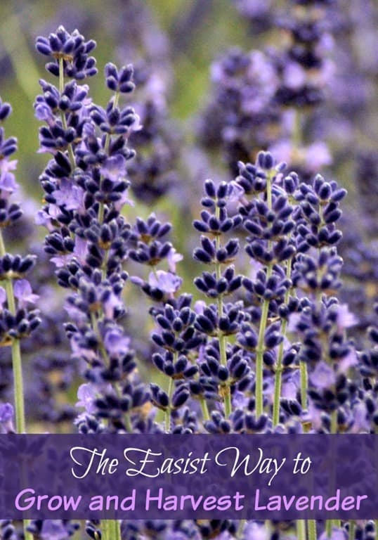 The-Easiest-Way-to-Grow-and-Harvest-Lavender.jpg