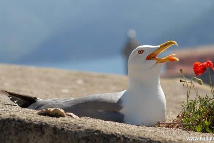 galeb-fotografije-laridae-seagull-photos-07.jpg