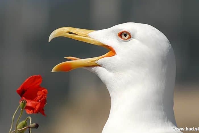 galeb-fotografije-laridae-seagull-photos-08.jpg
