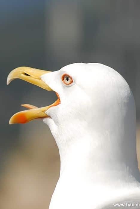 galeb-fotografije-laridae-seagull-photos-09.jpg