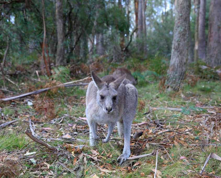 A friendly Kangaroo posing for a photo on the Six Foot Track