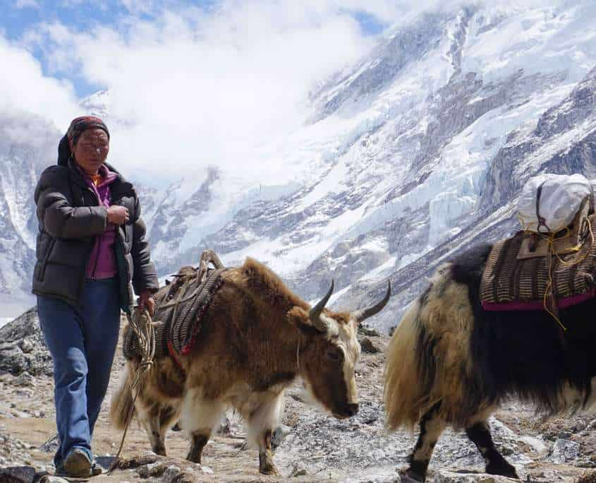 It is common top see yaks on the Everest Base Camp route