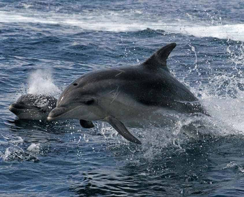 A dolphin on the wilderness cruise on the Three Capes Track