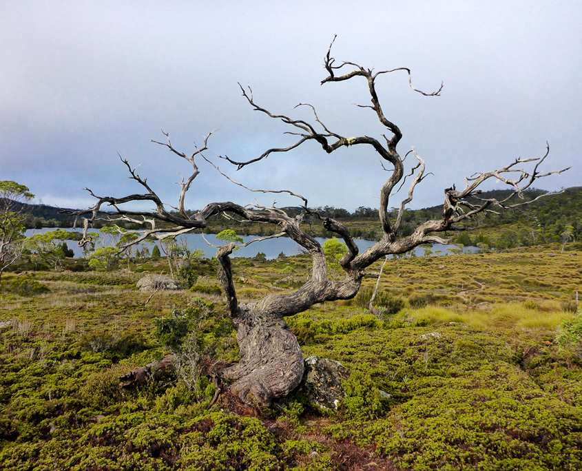 Beautiful old tree on the Overland Track