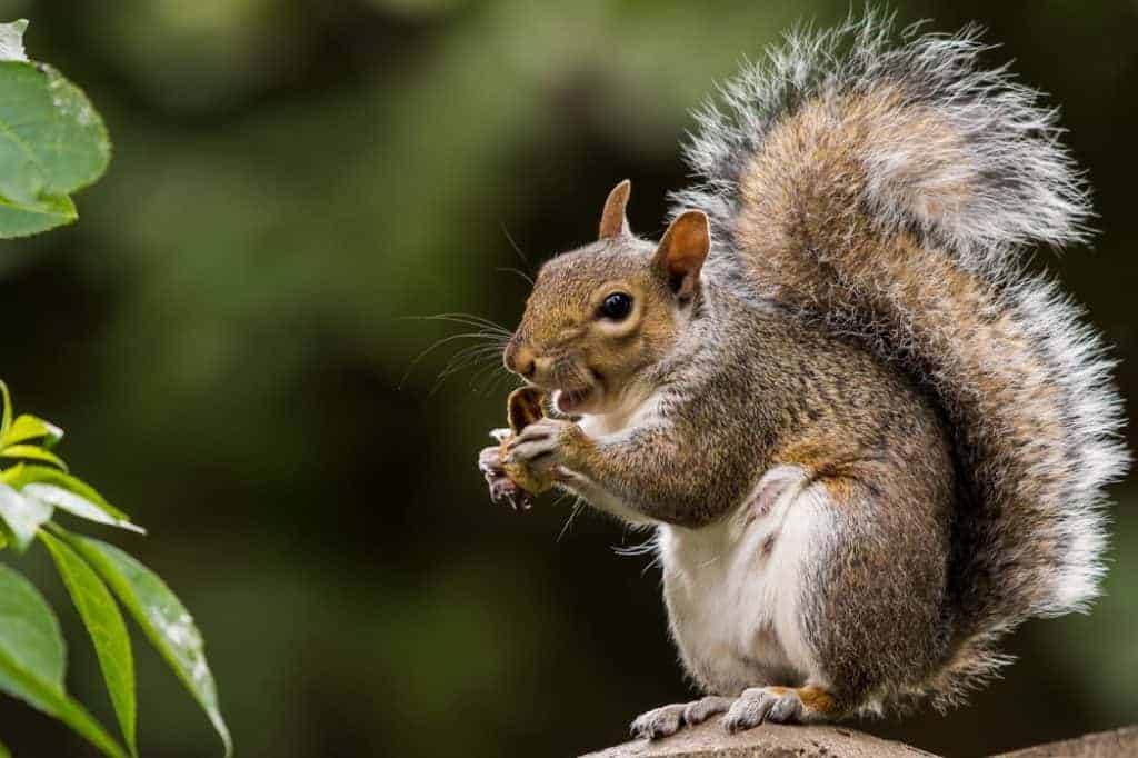 How to Hunt Squirrel - Squirrel Hunting Tips - proHuntingHacks