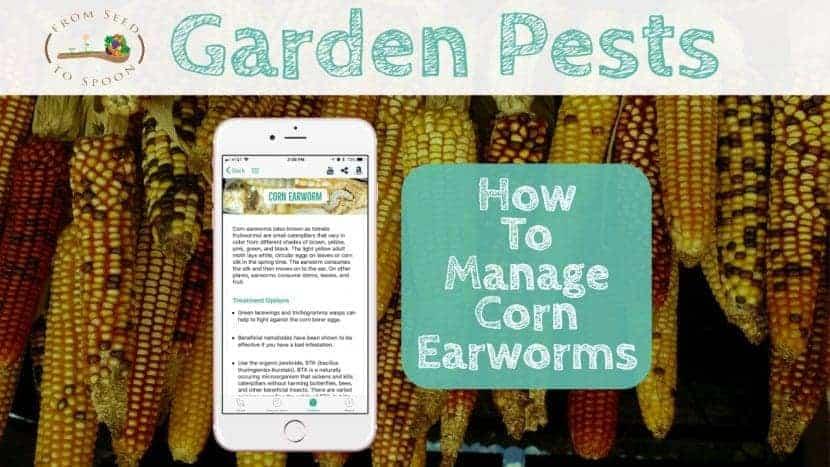 Corn Earworm blog post