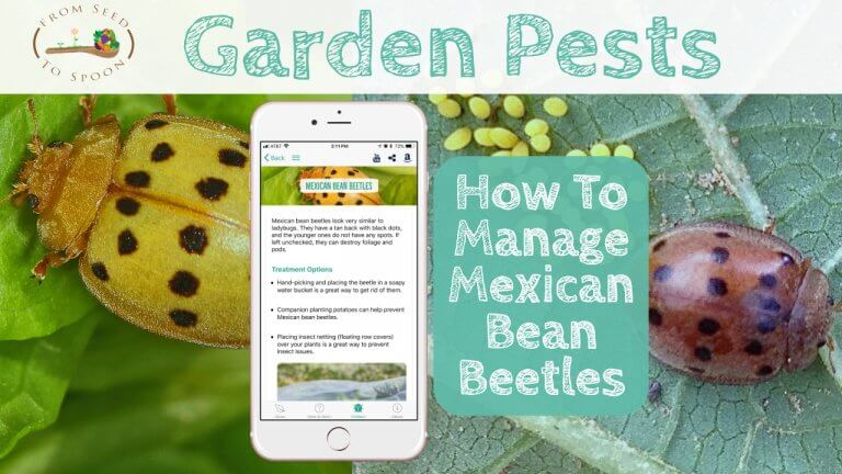 Mexican Bean Beetles blog post
