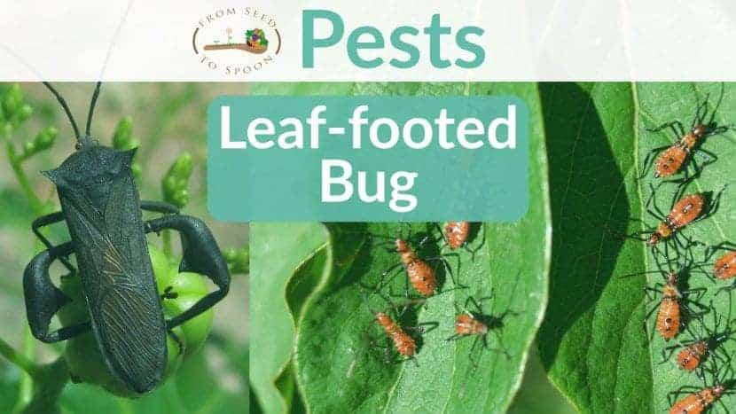 Leaffooted bug blog post
