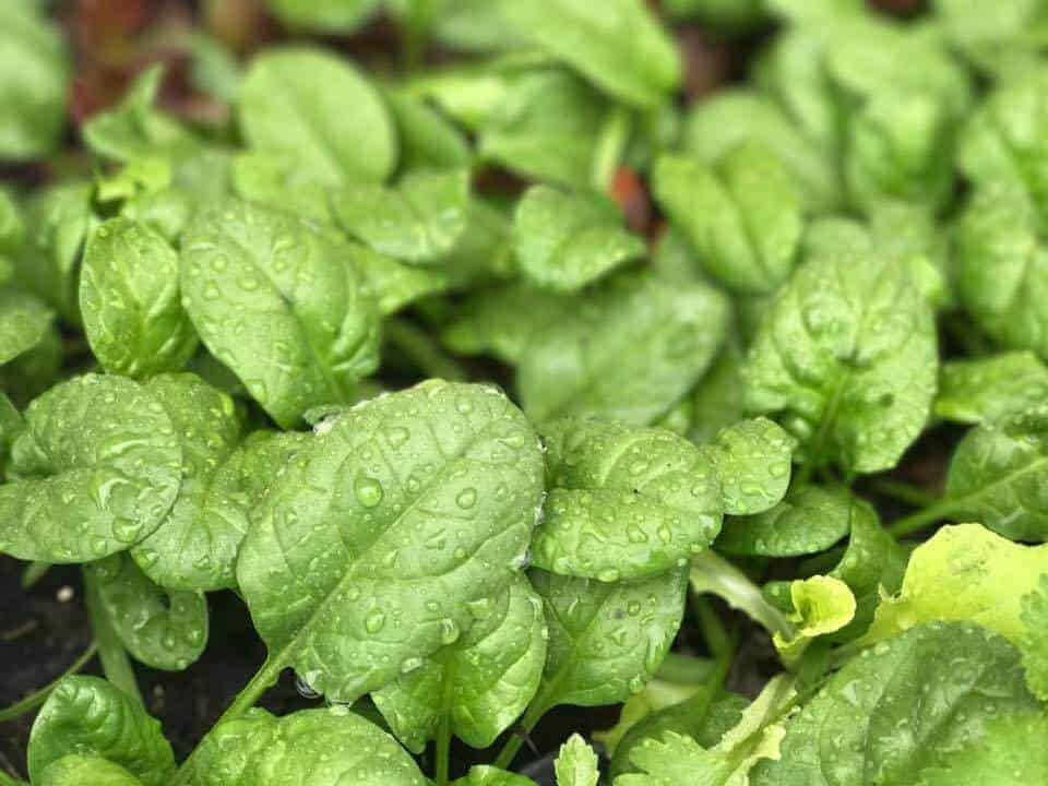 Grow Spinach in Your Backyard Vegetable Garden in February
