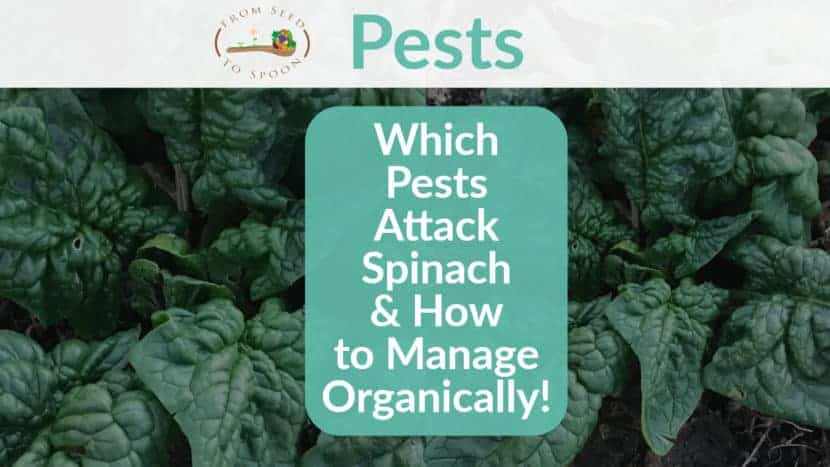 Spinach pests