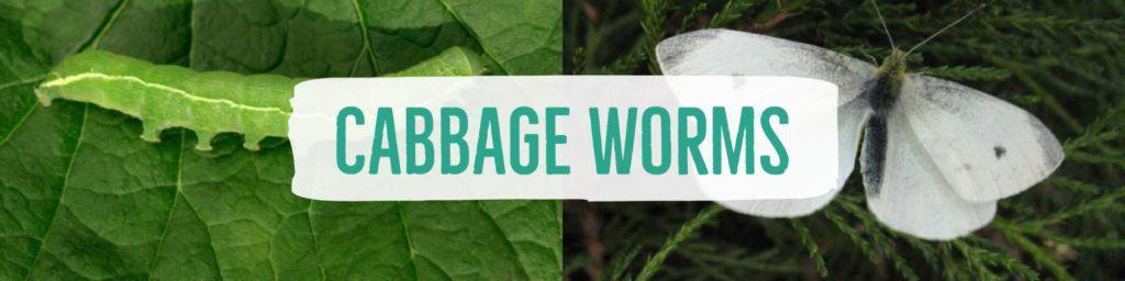 cabbageworms-header