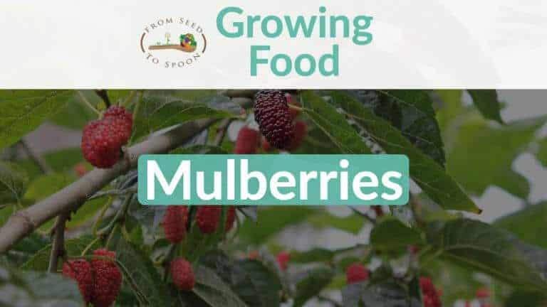 Mulberries blog post