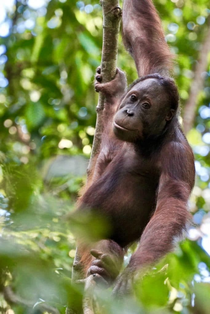 borneo male orangutan swinging through tree