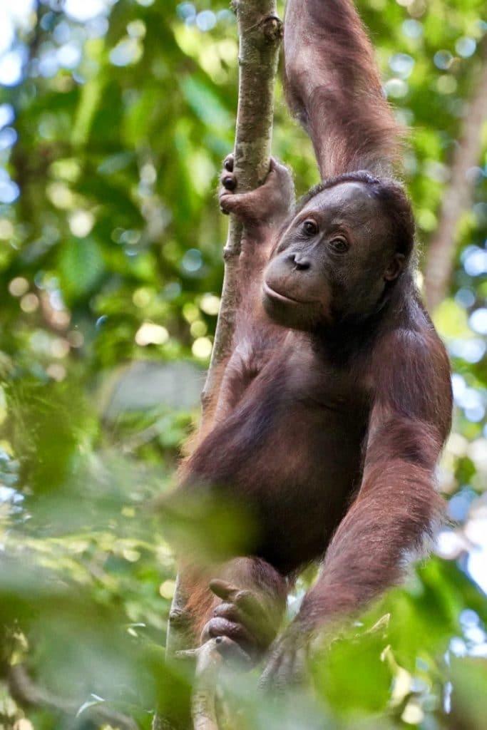 borneo male orangutan swinging through tree