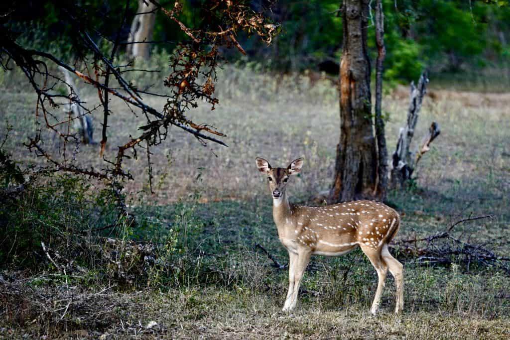 deer on a wildlife safari in sri lanka