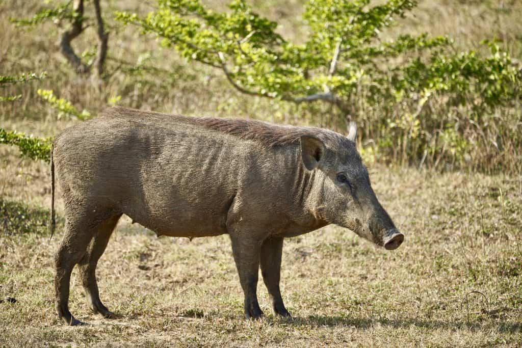 wild boar on a wildlife safari in sri lanka