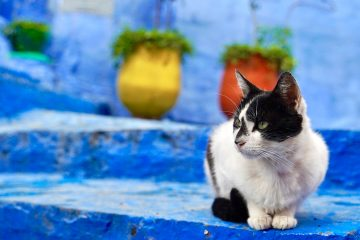 One of the many cats of morocco sitting on blue painted steps