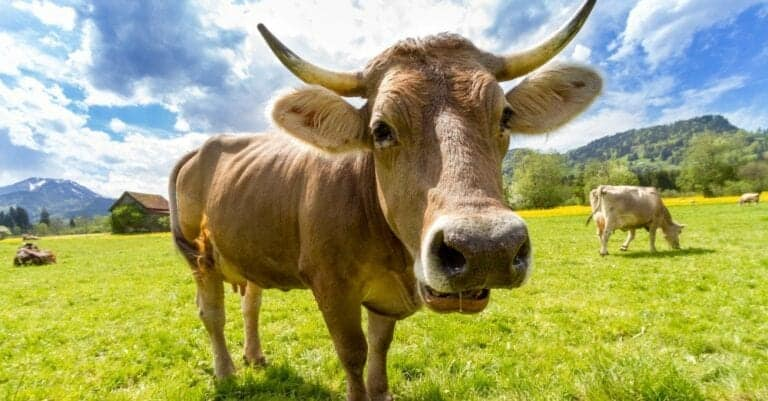 If You're Still Drinking from Cows, It's Time to Eliminate Dairy and See How Much Better You Feel!