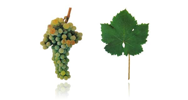 Tipos de uva