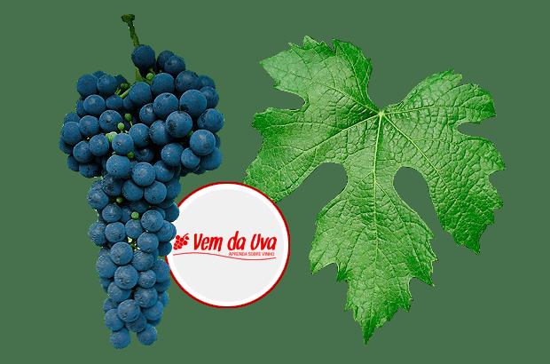 ancellotta-uvas-vemdauva.png