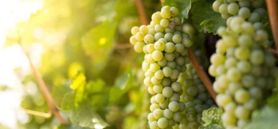 Características-da-Sauvignon-Blanc-968x450.jpg