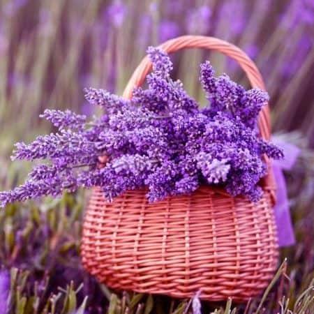 Лаванды цветки