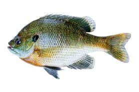 Bluegill Sunfish Panfish - Lepomis Macrochirus