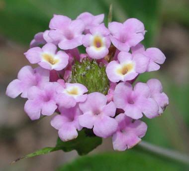 cuales-son-las-flores-de-otoño-lantana-trifolia