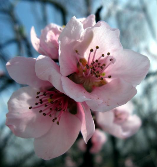 cuales-son-las-flores-de-otoño-flor-de-manzano