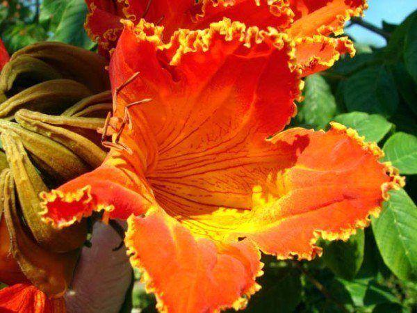 cuales-son-las-flores-de-otoño-tulipanera-abierta