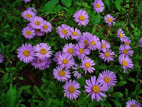 cuales-son-las-flores-de-otono-aster