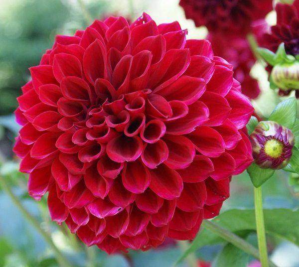 cuales-son-las-flores-de-otono-dahlia