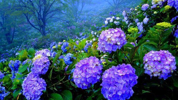 cuales-son-las-flores-de-otono-hortensia