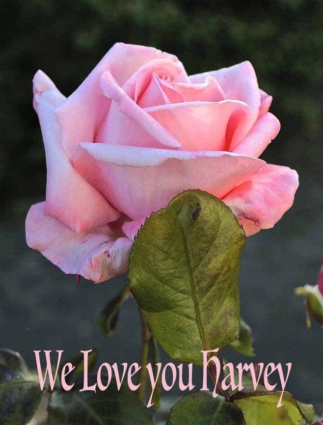 A beautiful pink rose photograph. Canon 1300D